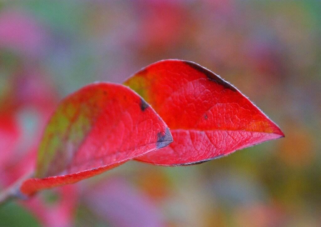 Randi Hausken - Autumn leaves - red pair