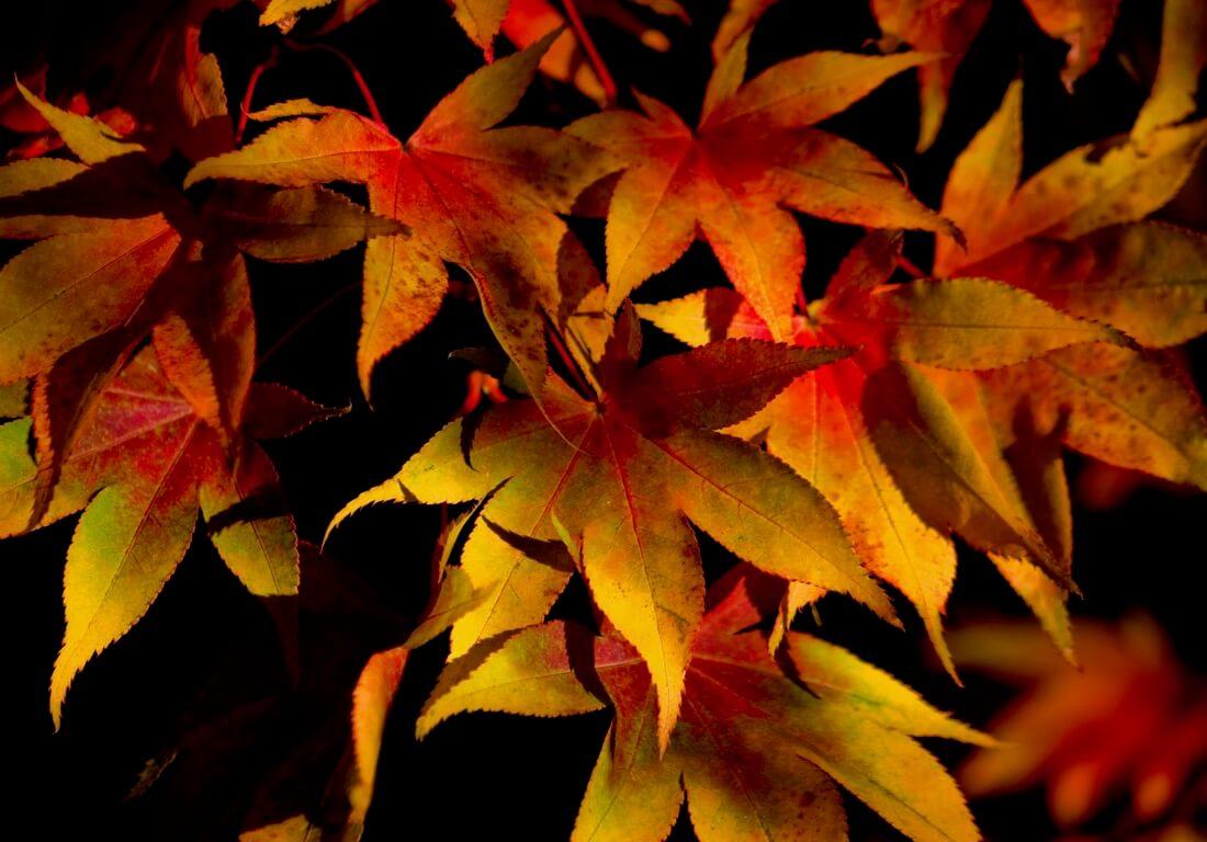 PapaPiper - Autumn Colours, Westonbirt Arboretum, Gloucestershire