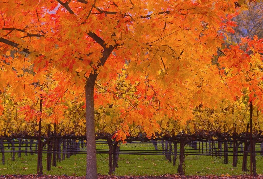 Sally Auman - Fall at a Vineyard