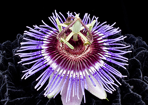 Passion Flower Photography