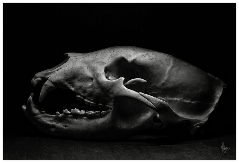 black and white bear skull
