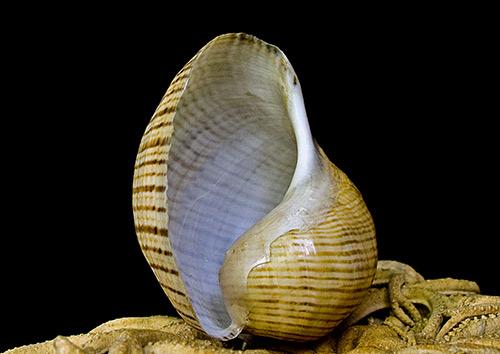 Hydatina-vesicaria