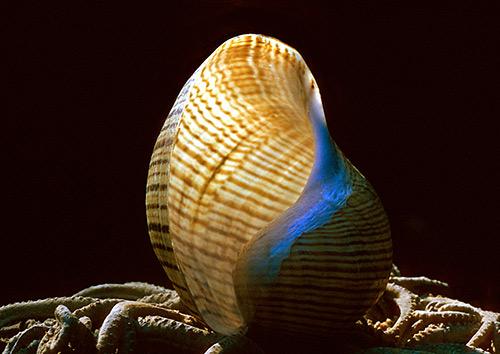 Hydatina-vesicaria Backlit