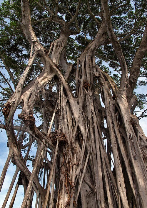 Banyan---3-copy