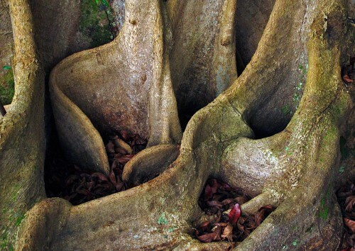 Buttress-Roots-Detail-copy