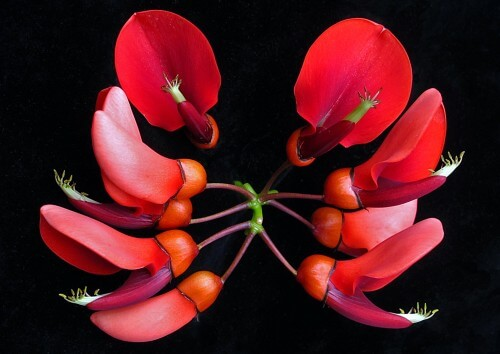 Erythrina-Flowers-copy
