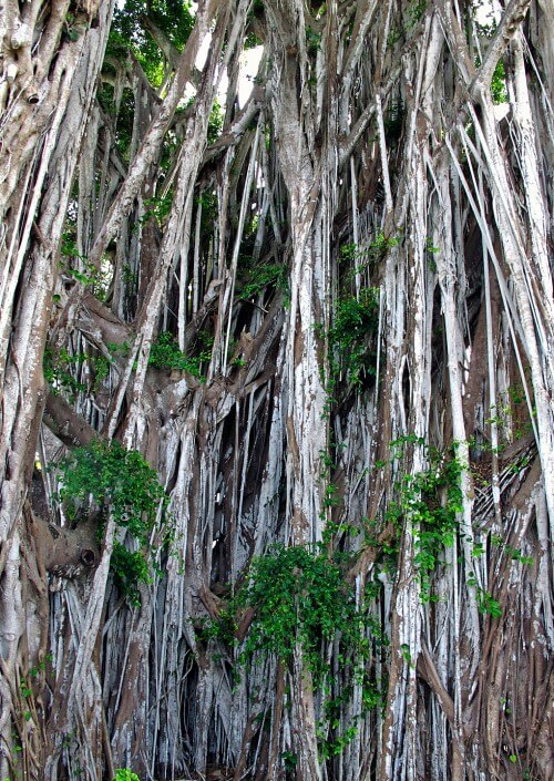 Kauai-Banyan---1-copy