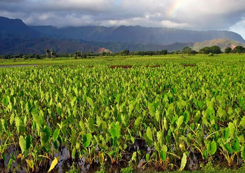 Kauai-Taro-Field-copy