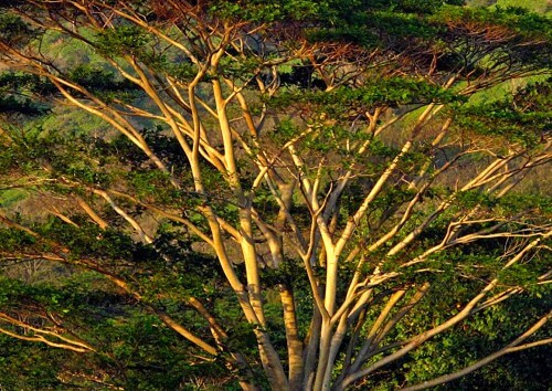 Kauai-Tree---Late-Light-copy