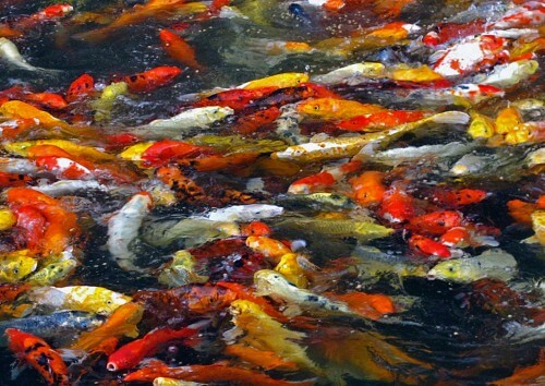 Koi-Feeding-Frenzy-copy