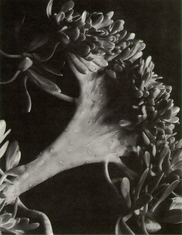 Succulent Photo by Imogen Cunningham