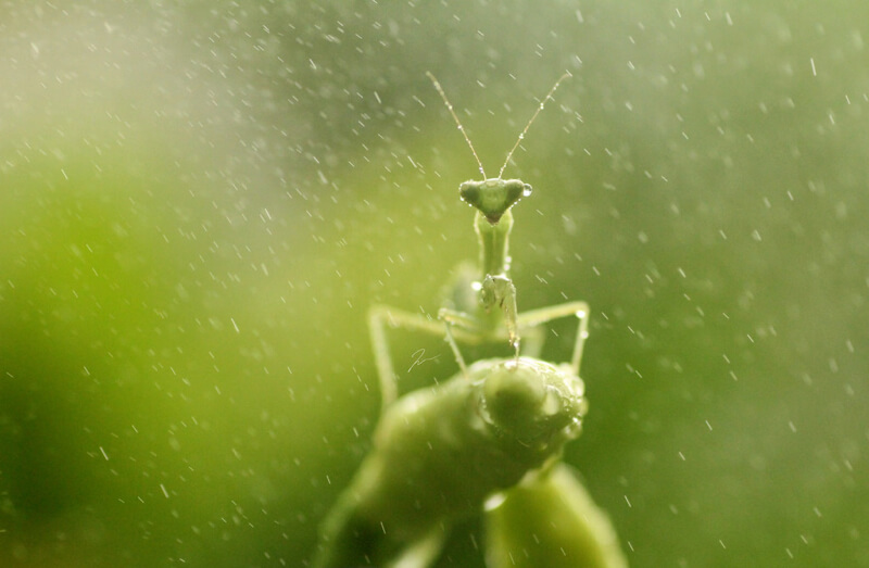 praying mantis in the rain