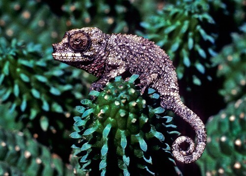 Baby-3-horned-chameleon-copy