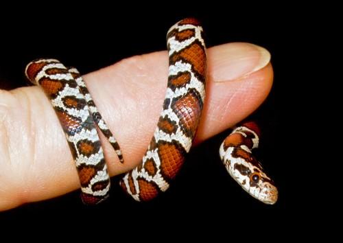 Baby-Milk-Snake-copy
