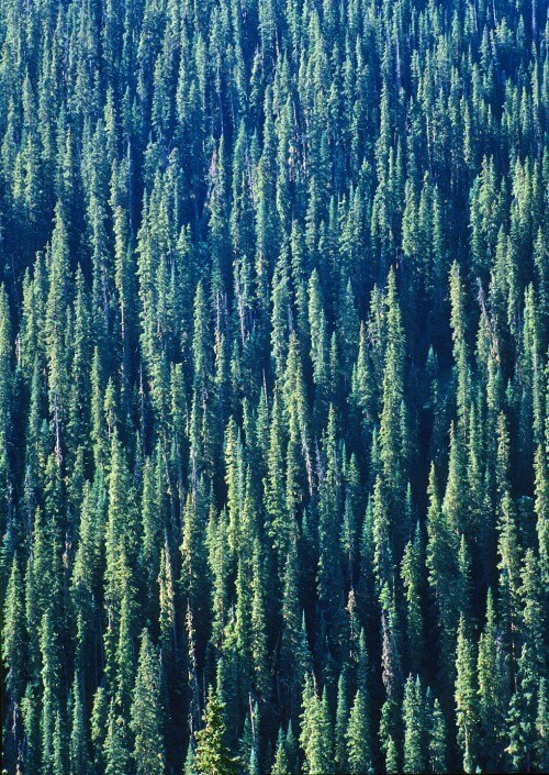 Colorado-Conifers-copy