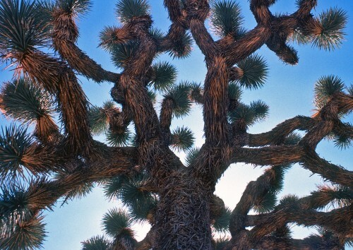 Joshua-Tree-copy