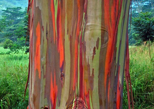 Rainbow-Eucalyptus---5-copy