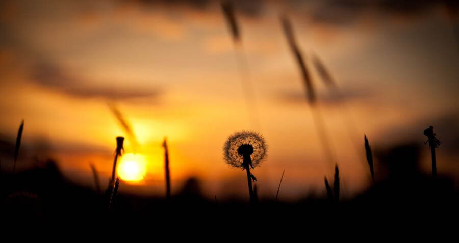 Holly Victoria Norval - Dandelion sunset