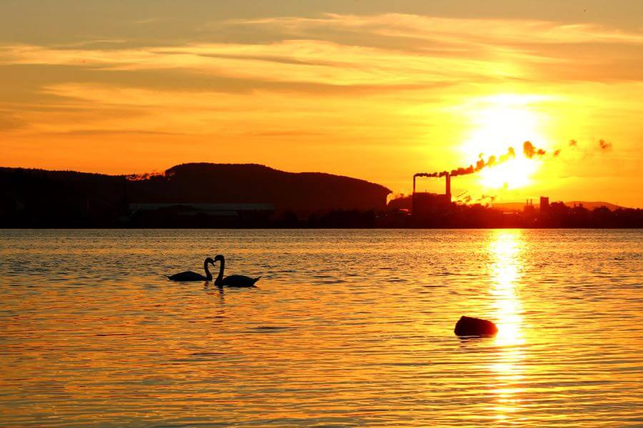 Gunilla G - Swans in sunset