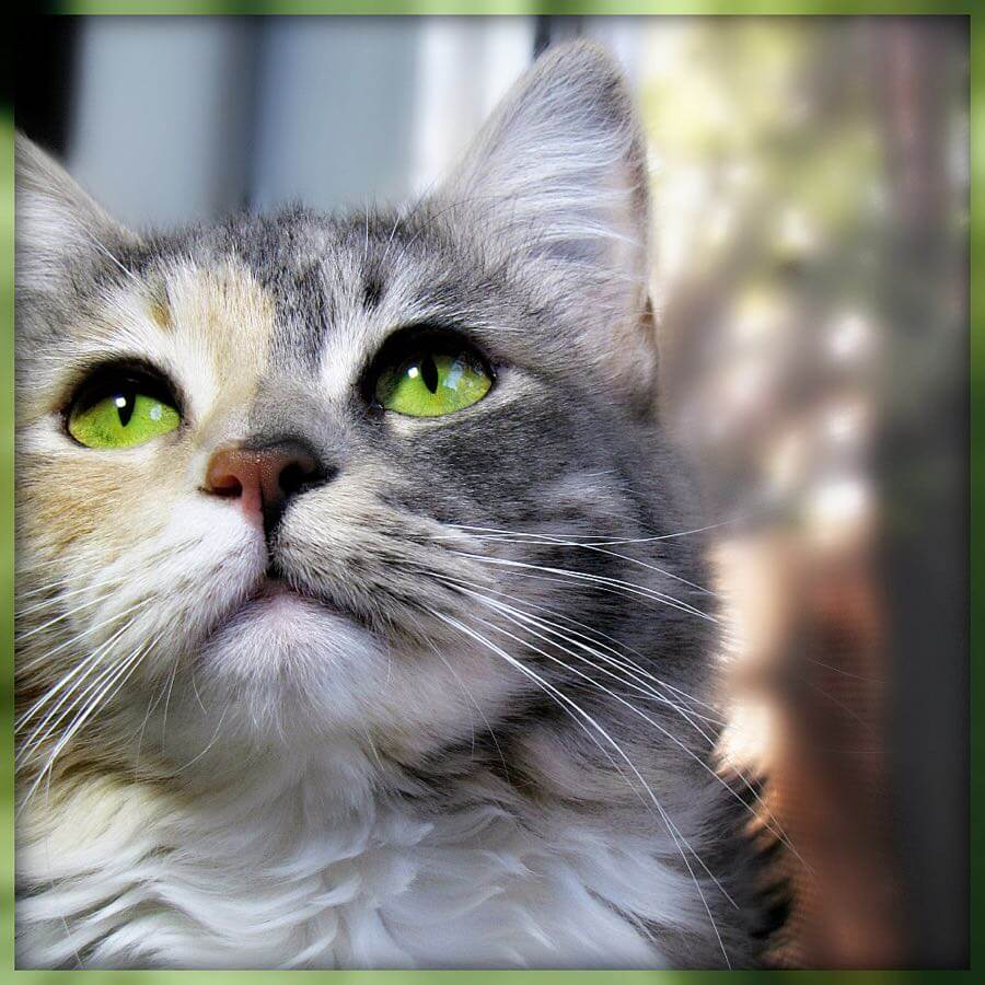 """Trish Hamme - """"The cat is nature's Beauty."""" - French Proverb"""