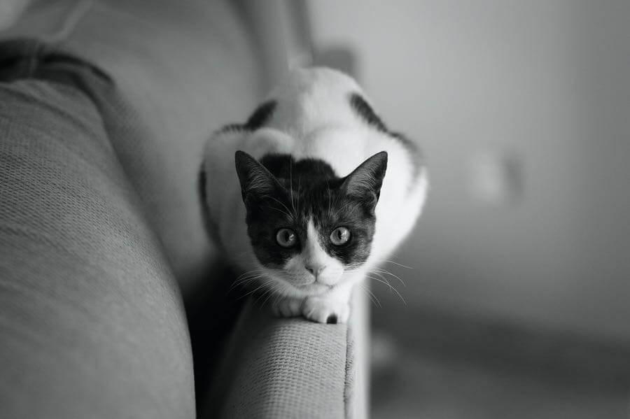 Faris Algosaibi - Cat Portrait
