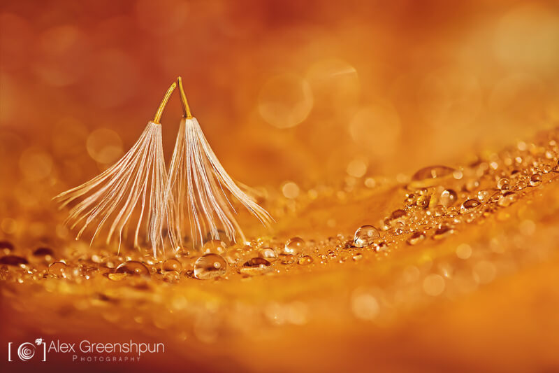 still life photography dandelion seeds