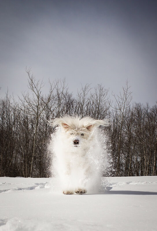 Sarah Bourque - A furry snowball.