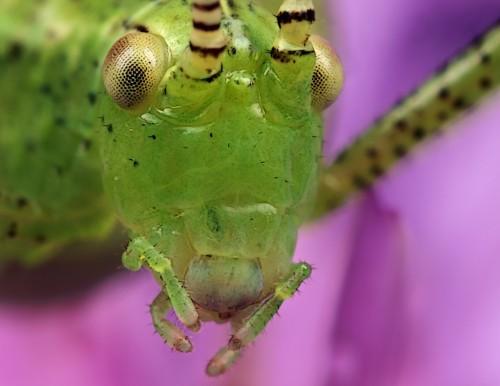 Portrait juvenile grasshopper
