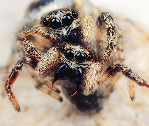 Two female jumping spiders