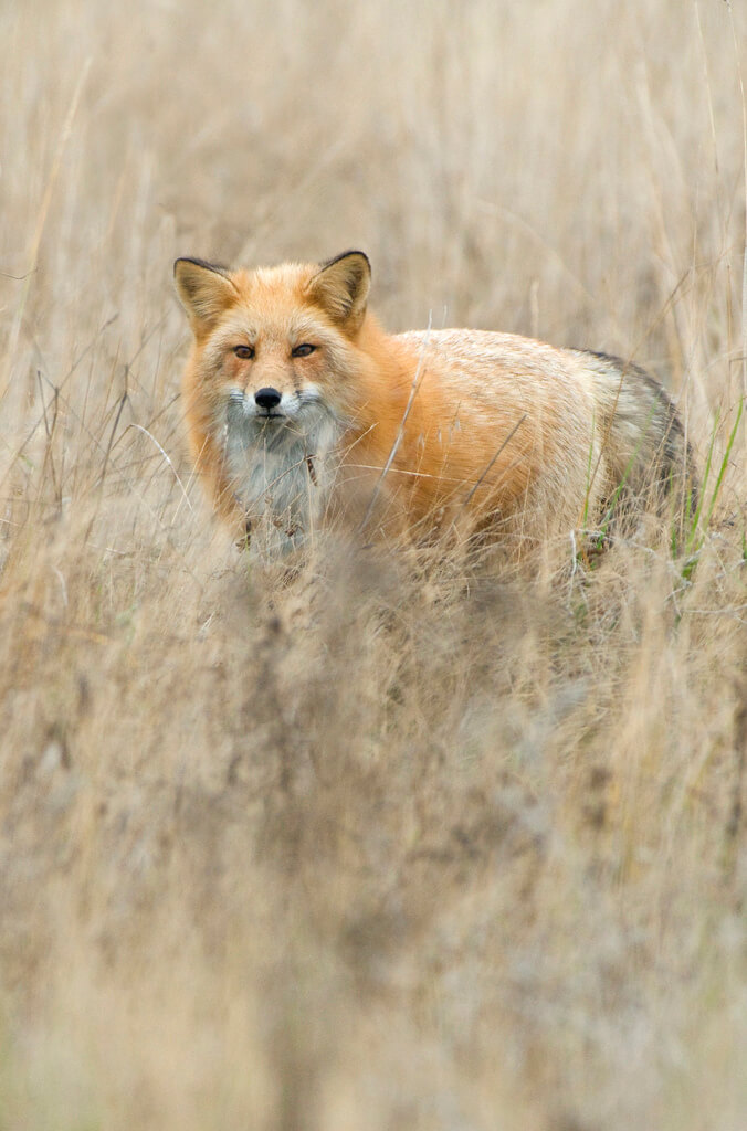 Beautiful Red Fox Photography