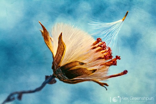 letting-go-wind-seed-texture-1-900