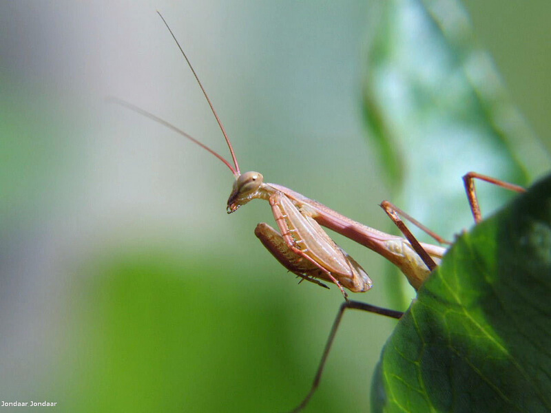 macro praying mantis