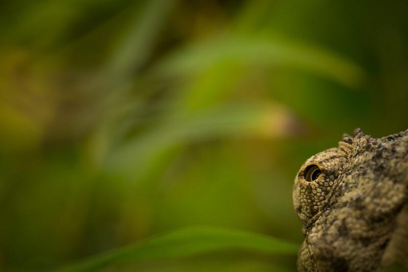 macro reptile eye