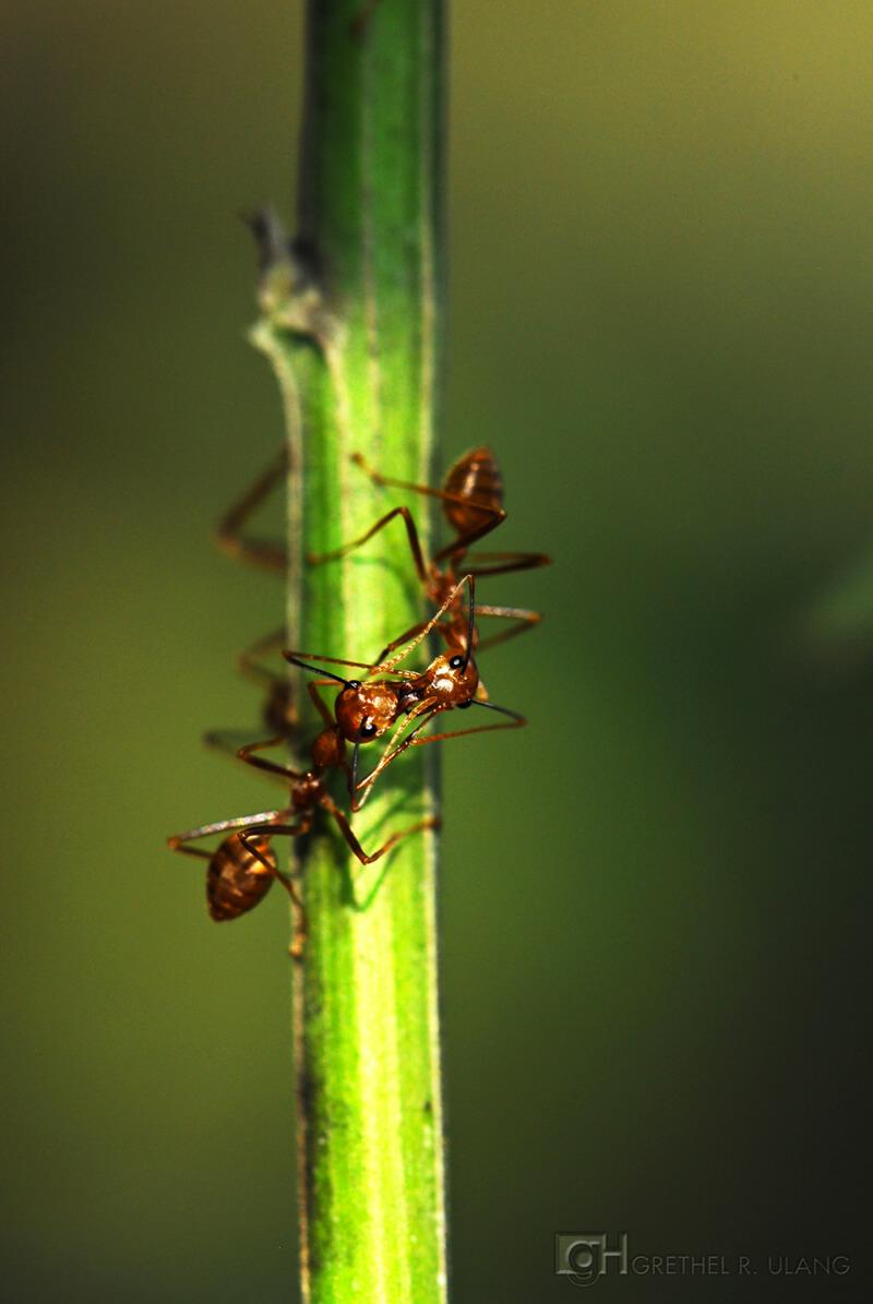 macro ants