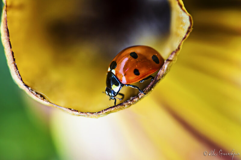 macro ladybug