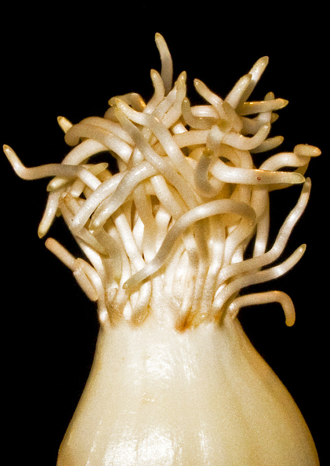 Garlic Rootlets