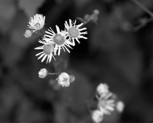 Spring Asters