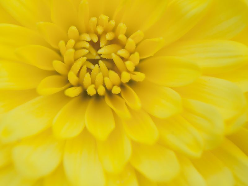 Tom Brim Yellow Mum