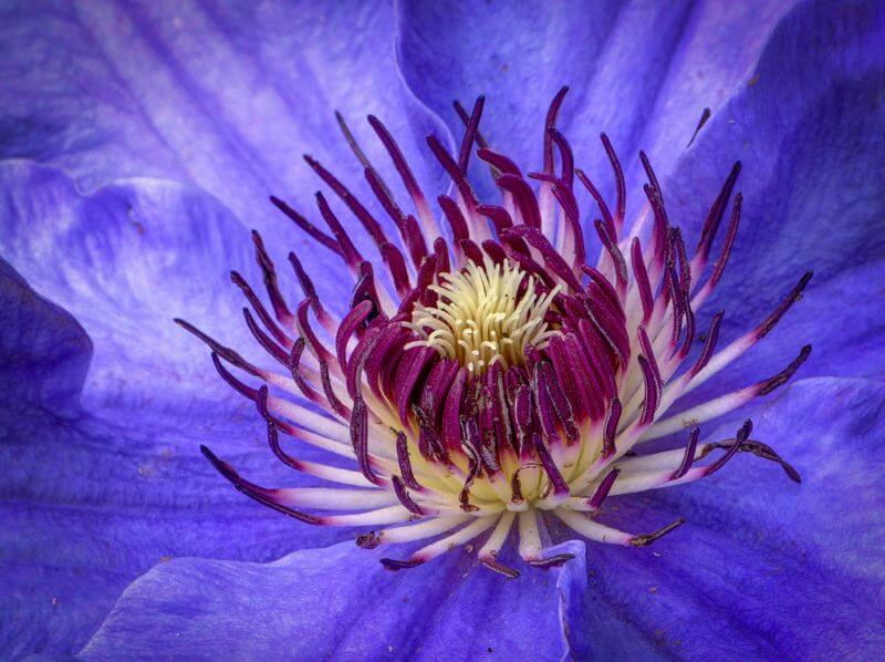 Mark Freeth Clematis.