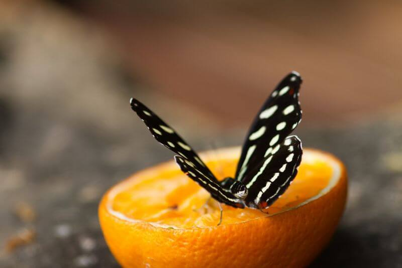 Holly Occhipinti Hungry Butterfly