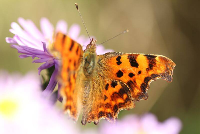 Nottsexminer Comma Butterfly