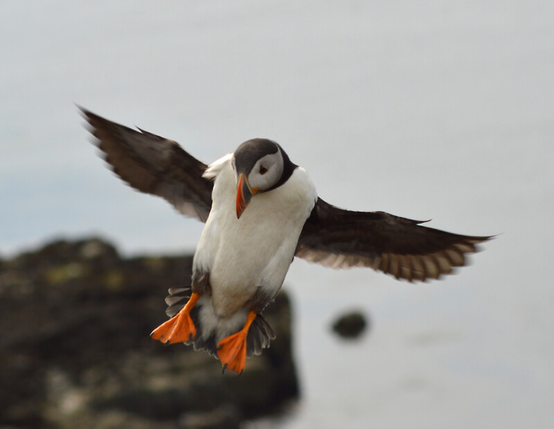 Jacob Spinks - puffin in flight