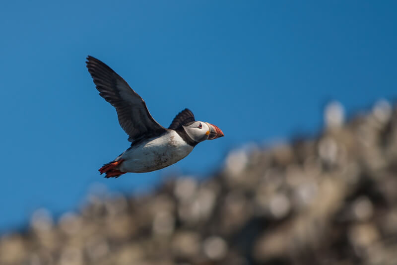 Tony Smith - Puffin (fratercula artica)