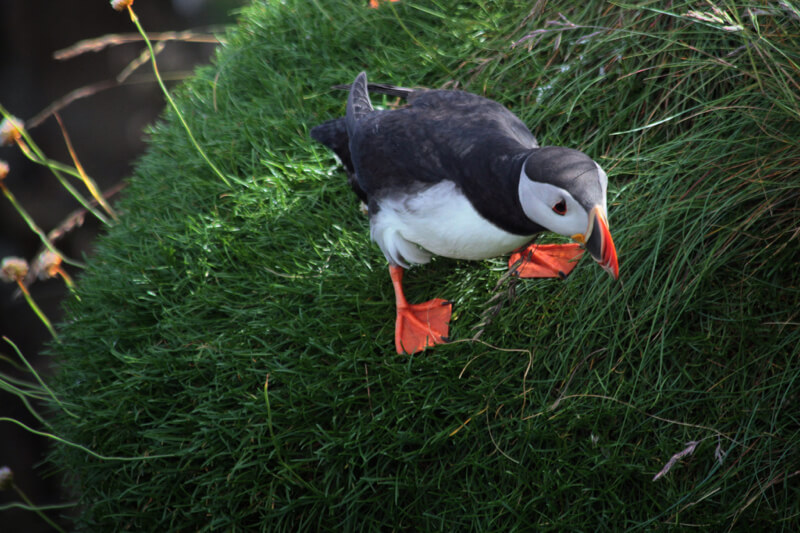 Guy Renard - Looking down puffin
