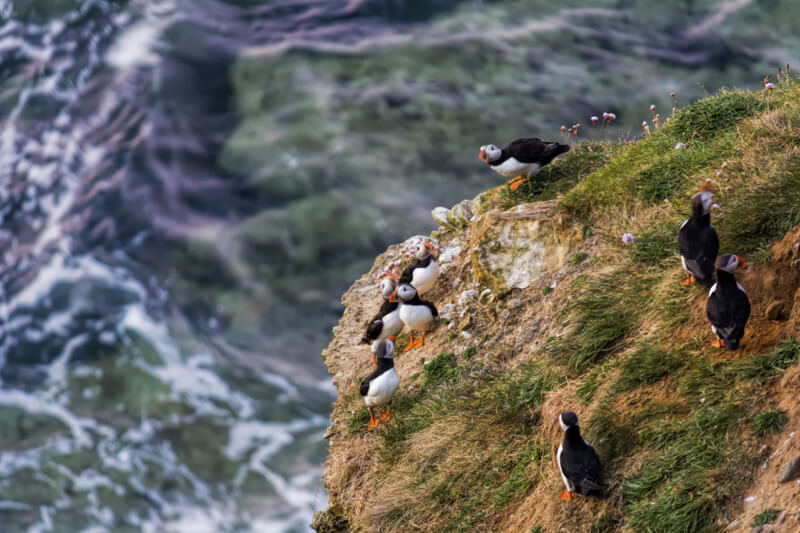 Darren Flinders - Family Of Puffins