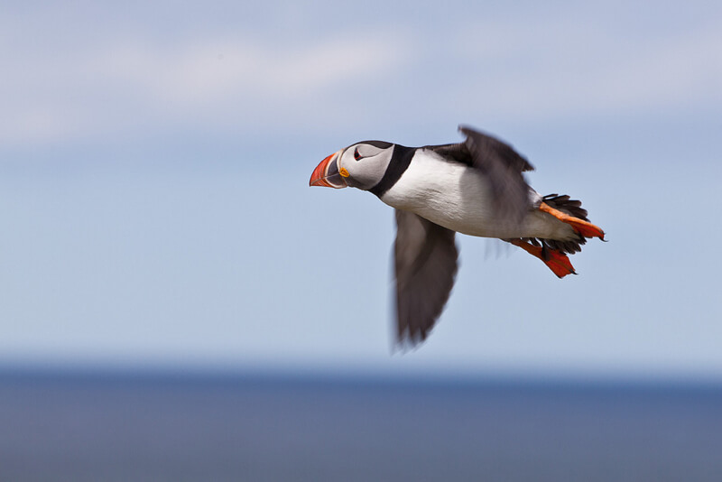 Tom Godber - Puffin