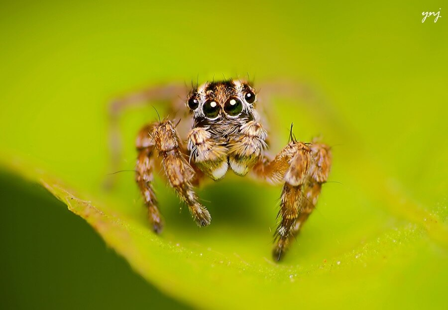 Yogendra Joshi - Striped Jumping Spider