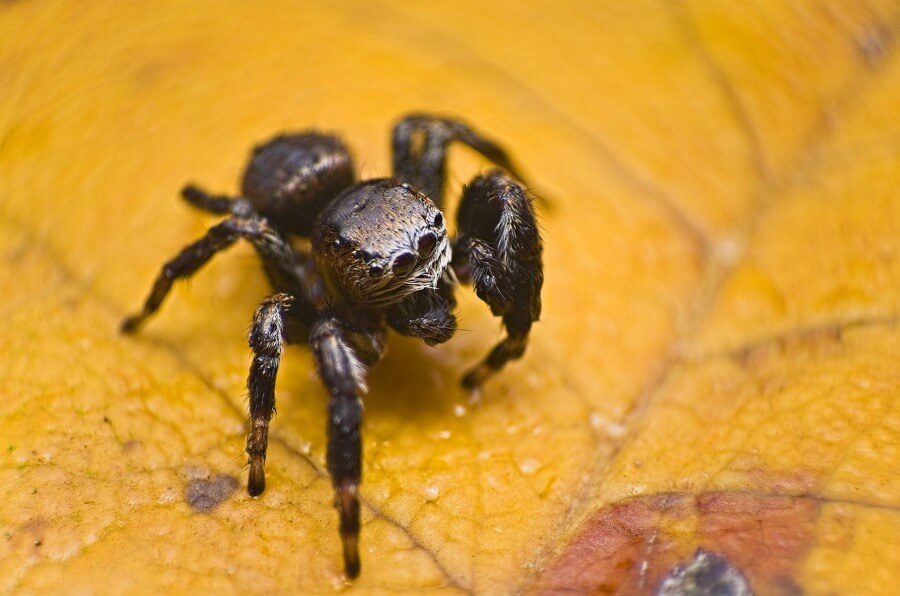 Johan J.Ingles-Le Nobel - Jumping Spider