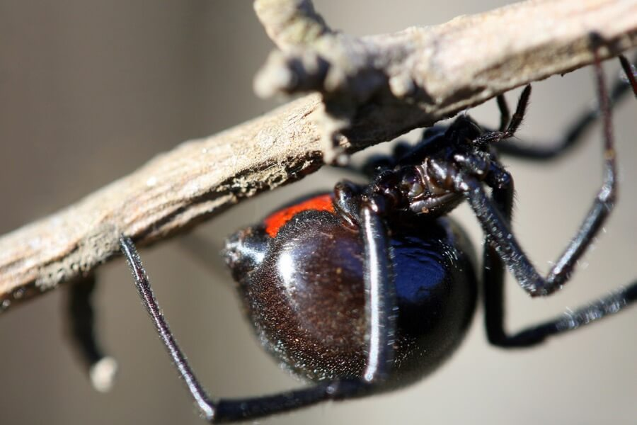 peasap - Black Widow Spider
