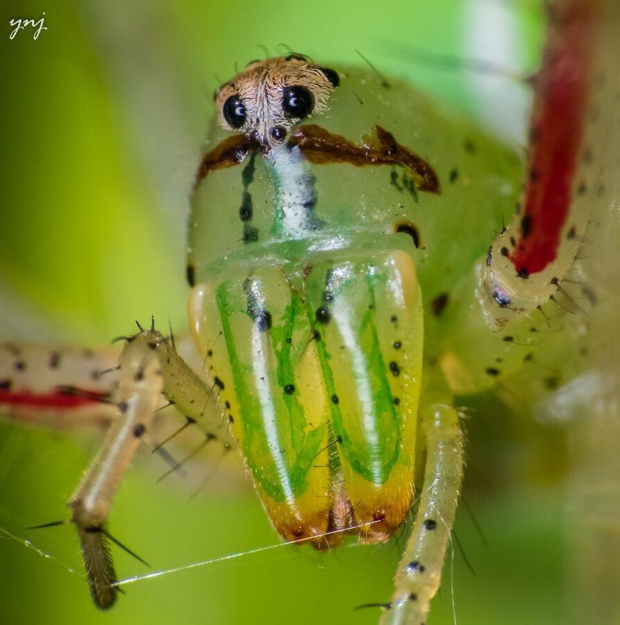 Yogendra Joshi - Spider Portrait